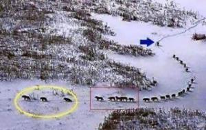 A propos du loup